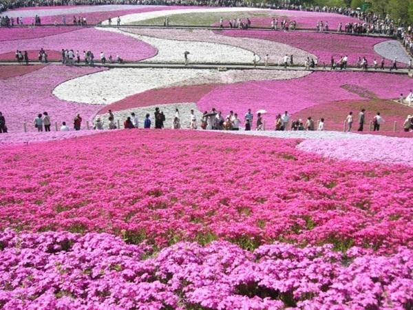 Người dân đến ngắm hoa sẽ đi vào những lối đi riêng ấy.