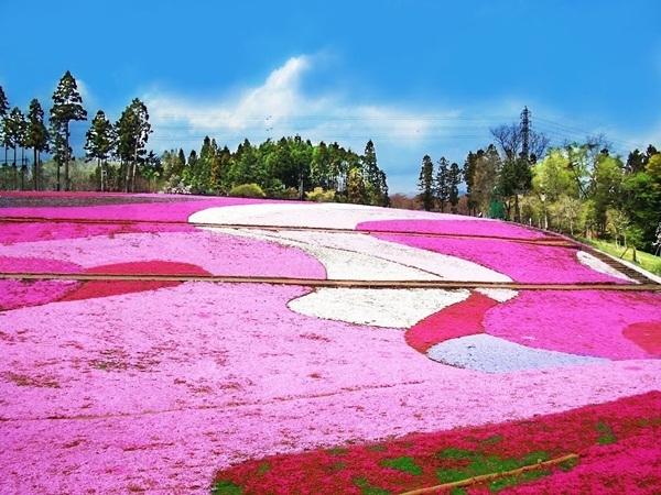 Công viên hoa Hitsujiyama Park thuộc tỉnh Saitama với hơn 400 nghìn bông hoa của 8 loại khác nhau thu hút khách du lịch quanh năm
