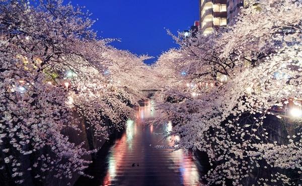 Vườn hoa anh đào ở Tokyo buổi đêm bừng sáng rực rỡ, du khách vì vậy cũng chẳng ai muốn về