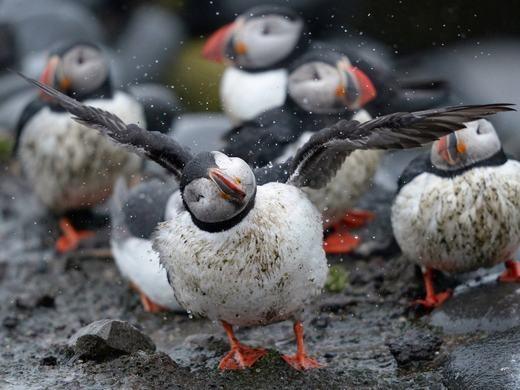 Puffin (hay còn gọi là hải âu cổ rụt) và những loài chim ăn cá biển tương tự đang có nguy cơ tuyệt chủng rất cao. Theo các nhà khoa học, việc nhiệt độ tăng cao hơn khiến các loài cá lặn xuống sâu hơn. Vì Puffin là loài chim chuyên lặn tìm cá nên bắt buộc chúng cũng phải lặn sâu, hoặc di chuyển đến chỗ lạnh. Mặc dù vậy, tập tính của chúng là không rời xa tổ nên theo thời gian, thức ăn giảm dần, Puffin sẽ chết dần chết mòn. (Ảnh: BI)