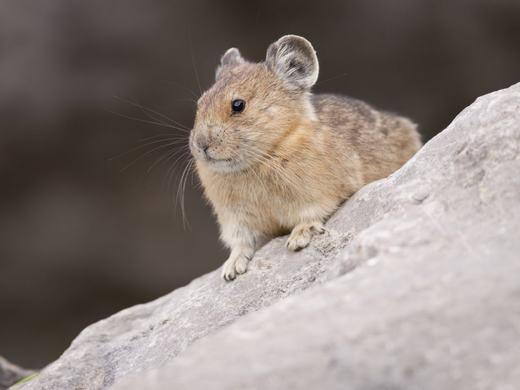 Chuột Mỹ là loài thuộc bộ gặm nhấm nhỏ, sống chủ yếu ở Bắc Mỹ. Đặc tính của loài này là không thể sống nếu nhiệt độ xung quanh quá 25 độ C. Nên nếu Trái đất nóng lên, nguy cơ tuyệt chủng là hiện hữu. (Ảnh: BI)