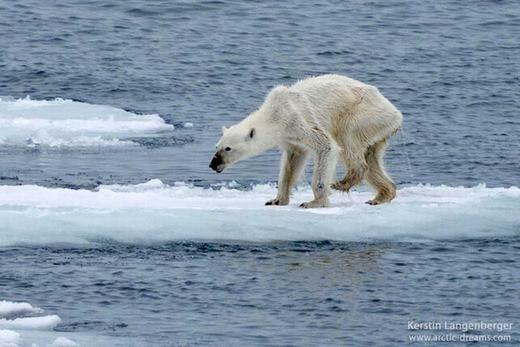 Gấu trắng Bắc Cực cũng đang có nguy cơ tuyệt chủng cao bởi biến đổi khí hậu. Trong những năm gần đây, cảnh tượng như hình ảnh không hiếm. Loài động vật này chủ yếu săn mồi bằng cách đứng trên các tảng băng và nếu băng tan, hậu quả sẽ rất khó lường. (Ảnh: BI)