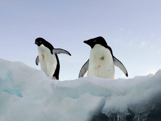 Cũng như một số loài động vật sống ở vùng cực kể trên, chim cánh cụt có thể chết nếu không tìm ra được thức ăn do biến đổi khí hậu. Bên cạnh đó, đặc tính sinh sản trên các tảng băng trôi cũng khiến loài động vật này gặp khó khăn trong việc duy trì nòi giống. Theo thống kê, đã có tới 19% chim cánh cụt biến mất trong chỉ chưa đến 20 năm đầu thế kỉ 21. (Ảnh: BI)