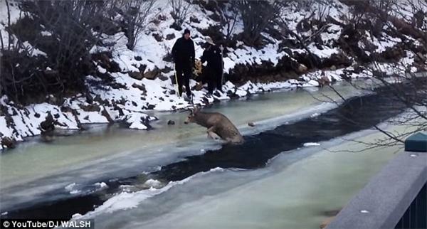 Hình ảnh được cắt ra từ đoạn clip giải cứu chú tuần lộc ở Colorado. (Ảnh: Daily Mail)