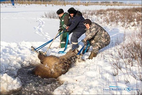 Nếu không được giải cứu, có thể con vật sẽ chết trong vài giờ đồng hồ tới. (Ảnh: Internet)