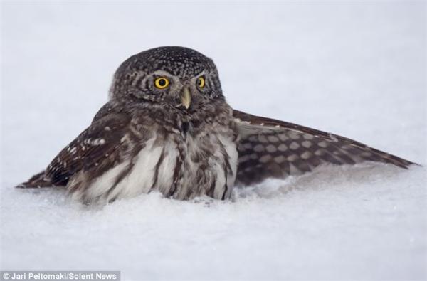 Tuy không gặp tai nạn nghiêm trọng như những trường hợp động vật trên nhưng tuyết cũng là một trở ngại cho việc săn mồi vào mùa đông của cú Pygmy.(Ảnh: Internet)