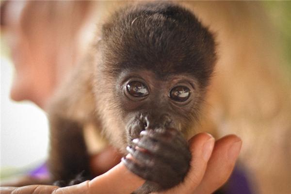 Chú khỉ nhỏ Boomer đáng yêu như một đứa trẻ.(Ảnh: Bored Panda)