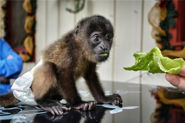 Giống khỉ Nam Mĩ sẽ được khỉ mẹ chăm sóc cho đến khi tròn 6 tháng tuổi. (Ảnh: Bored Panda)