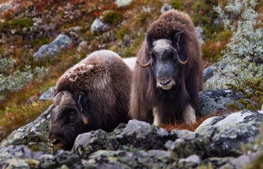 Bò xạ hương (Muskox) đặc trưng với bộ lông xù, dài và cặp sừng nhỏ. Bên cạnh đó, con đực còn tỏa ra mùi hương kì lạ, chủ yếu để hấp dẫn con cái trong mùa giao phối. (Ảnh: Internet)