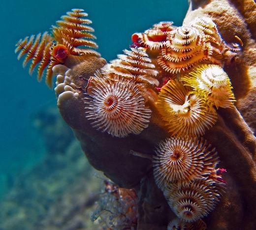 Sâu cây thông giáng sinh (Christmas Tree Worm) đặc trưng với bề ngoài đầy màu sắc. Và như cái tên, nó khá giống cây thông Noel. Được biết, loài sâu này sống chủ yếu ở cácrạnsan hô dưới đại dương. (Ảnh: Internet)