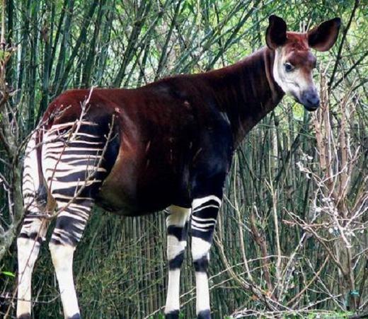 Bạn nghĩ đây là con gì? Phải chăng nó là sự kết hợp của ngựa vằn và một con hươu cao cổ? Không phải đâu, đây là con Okapi, được tìm thấy ở các khu rừng nhiệt đới phía Bắc và Đông Bắc nước Cộng hòa Congo. (Ảnh: Internet)