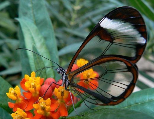 Một chú bướm với đôi cánh trong suốt lạ mắt. Dù bướm có hàng trăm ngàn loài khác nhau nhưng rất ít con có đôi cánh dạng này. (Ảnh: Internet)