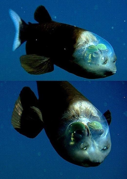 Cámắt trống, hay còn gọi là cá ma quỷ(Barreleye), đặc trưng với phần đầu trong suốt, có thể thấy được bên trong. (Ảnh: Internet)