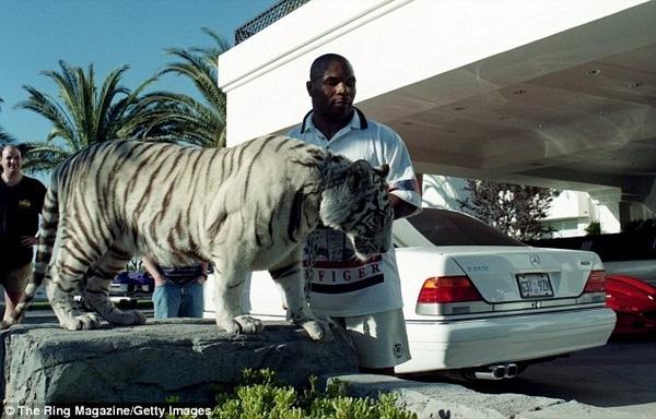"""""""Tay đấm thép"""" Mike Tyson nuôi một chú hổ trắng trong biệt thự."""