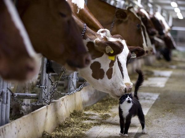 Những chú bò chơi với chú mèo trong lúc chờ vắt sữa tại một trang trại ở Granby, Quebec, 26/7/2015.