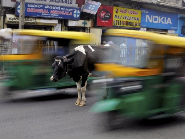 Chú bò đứng giữa những làn xe bận rộn trên phố tại Bengaluru, Ấn Độ, ngày 2/6/2015.