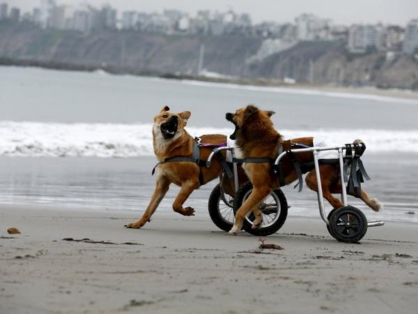 Pelusa và Huellas, hai chú chó bị liệt và phải dùng xe lăn đang chơi với nhau trên bãi biển Pescadores, Chorrillos, Lima, 7/9/2015.