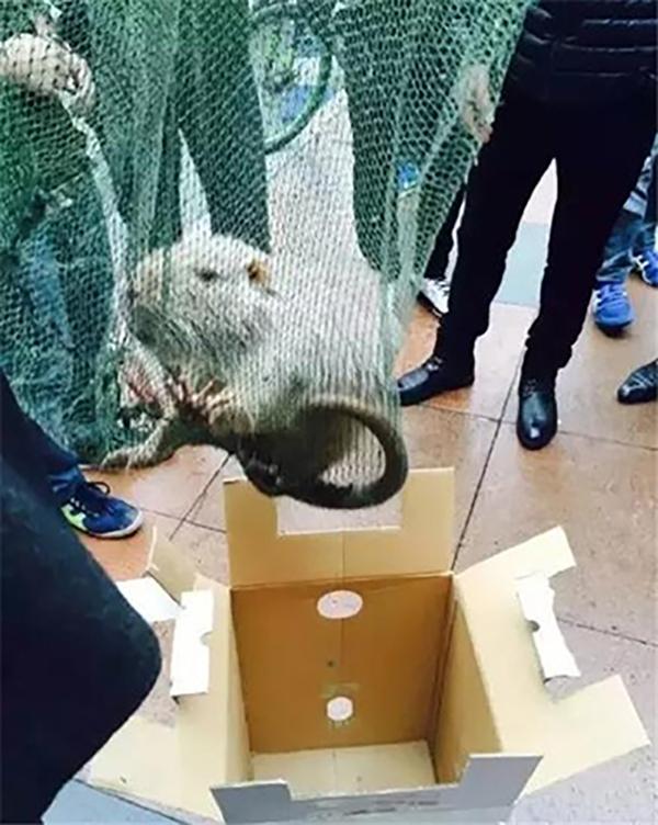 Con chuột khổng lồ tìm thấy ở thành phố Ôn Châu, Trung Quốc.