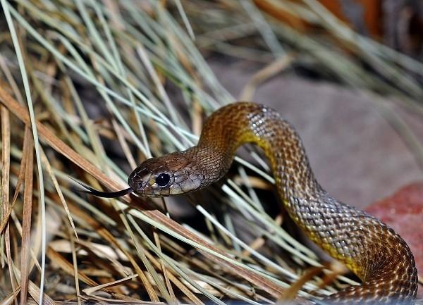 Kinh hãiloài rắn lấy mạng cả trăm người chỉ với một giọt nọc độc