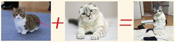 Mappu là kết quả giữa sự lai tạo hai giống mèo Muchkin và Scottfish Fold. (Ảnh: Internet)