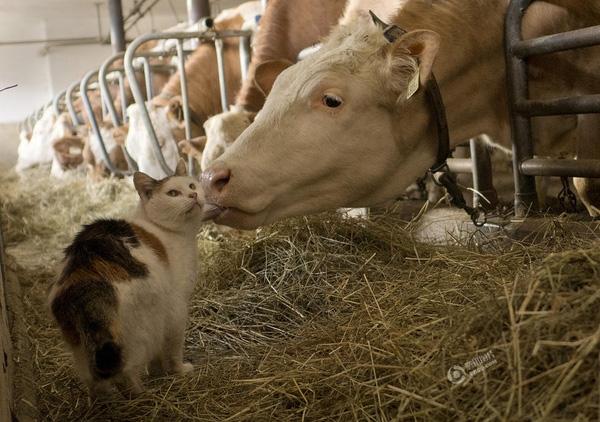 Ngày 18/3, Rob Taggart đã ghi lại khoảnh khắc đầy tình cảm giữa bò và mèo tại một nông trại ở Brixlegg, Áo.