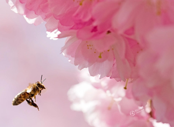 Ngày 15/4, tại Erfurt, Đức, Jens Meyer đã chớp được khoảnh khắc chú ong cần mẫn đi tìm mật.