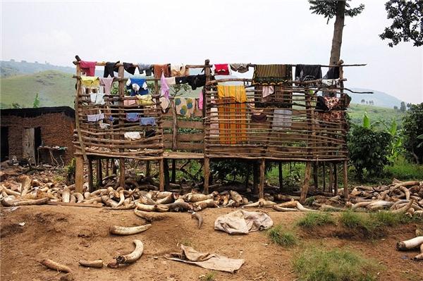 Đây là khung cảnh tại Uganda. Nếu nhìn qua, có thể bạn sẽ nghĩ đây là ngà voi được thu thập nhưng thực tế đó chỉ là sừng trâu bò. Chính Levison cũng lầm tưởng như vậy khi mới đến đây. Chúng được dùng để làm cúc áo.