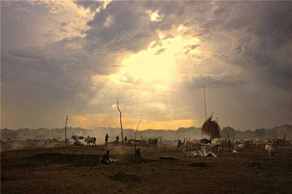 Nếu như lạc đà là phương tiện vận chuyển, thì bò là động vật giúpngười dân sản xuất nông nghiệp và dùng làm thực phẩm. Hình ảnh trên làMundari– một tộc người đã thuần hóa bò rừng châu Phi cách đây hàng ngàn năm.