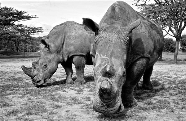 Thế giới hiện còn 3 con tê giác trắng miền bắc và không thể sinh sảnđược dù các nhà khoa học đã tìm nhiều cách. Chúng đang sống tại một vườn quốc gia có sông Nile chảy qua.