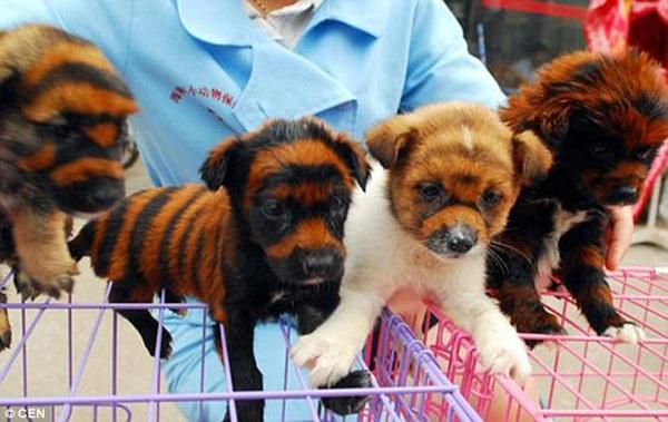Những chú chó lai hổ kỳ lạ trên đường phố Trung Quốc.