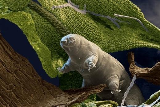 Hiện nay, người ta nhận diện được hơn 900 loài bọ gấu nước. Đa số chúng đều ăn chay bằng cách hút dịch của tảo, rêu và địa y. Tuy nhiên, cũng có một số loài ăn thịt ngay chính đồng loại của mình để sống.