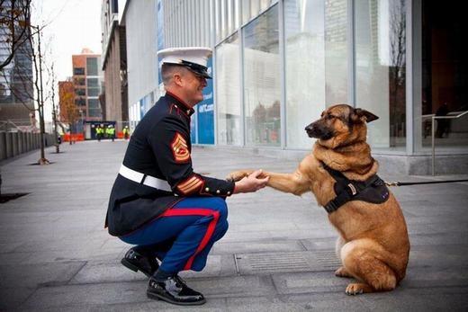 """Chú chó dò phá chất nổ của Hải Quân Mỹ Lucca đã mất 1 chân trong nhiệm vụ tại Afghanistan được gửi lời cám ơn tuyên dương. Cuộc đời của Lucca thậm chí đã được xuất bản thành sách với tựa """"Top Dog: The story of marine hero Lucca"""" ."""