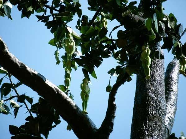 Cư dân mạng cho biết, cây Nareepol được trồng tại tỉnh Phetchabun, phía Bắc Thái Lan cách thủ đô Băng Cốckhoảng 500km.Nhiều người khi mới thấy hình ảnh về loại cây có một không hai này đã vô cùng kinh ngạc, nhưng cũng rất thích thú, tò mò.Ảnh: Internet