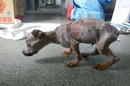 Chú chó tội nghiệpTiny Tuffy bị người chủ độc ác hành hạ. (Ảnh: Internet)