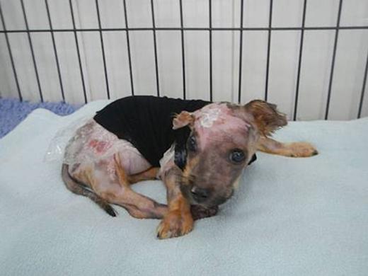Chú chó 6 tuần tuổi bị chủ luộc sống, ném từ tầng 4 xuống đất