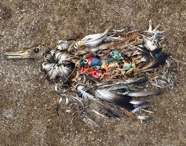 Hình ảnh chim biển nuốt phải rác thải nhựa gây chấn động thời gian qua. (Ảnh: Internet)