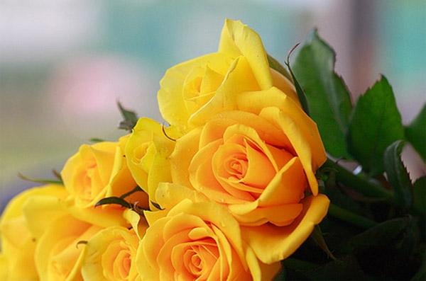 Truyện ngắn: Hoa hồng vàng