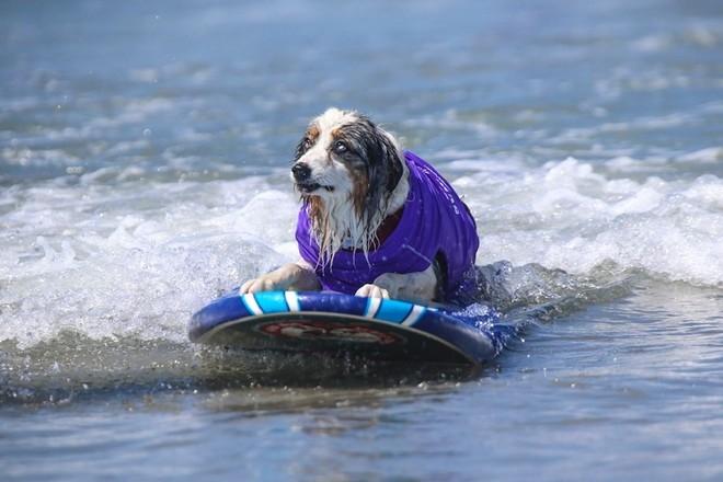Hài hước với bộ ảnh cún cưng trổ tài lướt sóng
