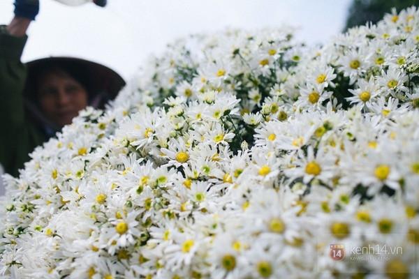 Chùm ảnh: Cúc họa mi bồng bềnh như mây về trên phố Hà Nội