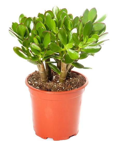 10 cây cảnh bạn phải trồng trong nhà để tiền vô như nước