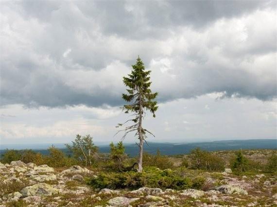 Với chiều cao chỉ khoảng 4,8 m, cây Old Tjikko khá nhỏ bé so với những họ hàng 25 m của mình ở núi Fulufjället, Thụy Điển. Tuy nhiên, cây tùng bách tuyệt vời này được công nhận là cây vô tính đơn thân cổ xưa nhất thế giới. Ảnh:Huffington Post.