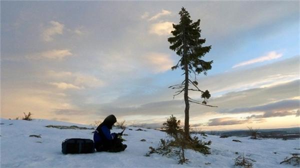 Phần thân cây thực chất mới chỉ vài trăm năm tuổi, nhưng hệ rễ cây đã sống sót nhờ hiện tượng sinh sản sinh dưỡng (thân cây chết nhưng rễ còn sống và nảy mầm mới) và việc cành cây mọc rễ khi chạm xuống đất. Ảnh:Dark-mountain.