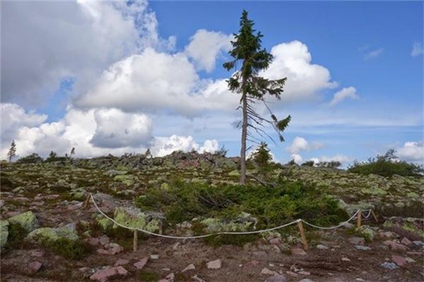 Do thời tiết khắc nghiệt trên núi, Tjikko tồn tại dưới dạng cây bụi và mới chỉ đạt chiều cao hiện tại trong thế kỷ qua. Du khách có thể đăng ký các tour tới thăm nơi này. Ảnh:Hans-orjan/Blogspot.