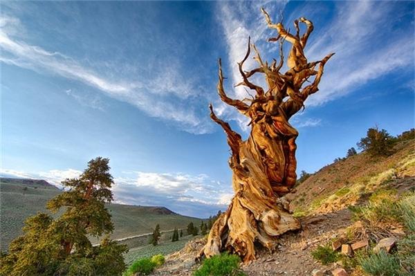 Ngoài Tjikko, thế giới còn có nhiều cây cổ xưa tới không tưởng, như cây thông Methuselah gần 5.000 năm tuổi ở California (Mỹ)... Ảnh:Wordsmith.