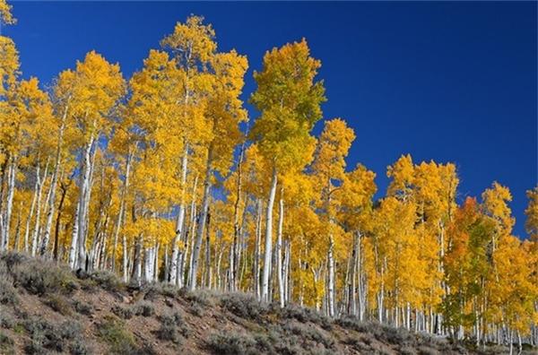 Hay Pando - khu rừng ở Utah (Mỹ) mọc từ một cây duy nhất, ước tính khoảng 80.000-100.000 năm tuổi. Ảnh:Cafe-sciences.