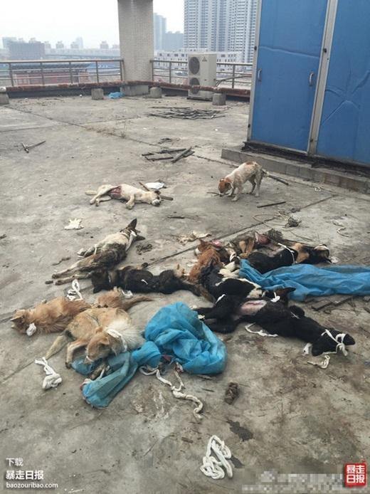 Những chú chó với những vết thương đầy mình, băng gạc rải rác khắp nơi. (Nguồn Internet)