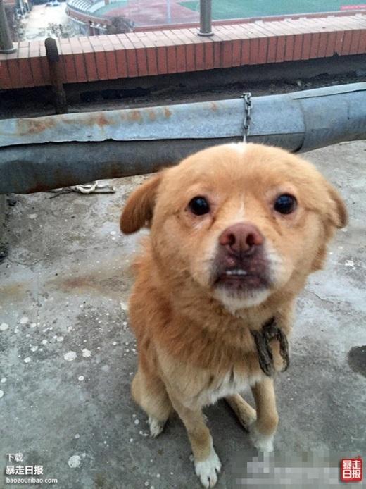 Chú chó đáng thươngcần được giúp đỡ. (Nguồn Internet)