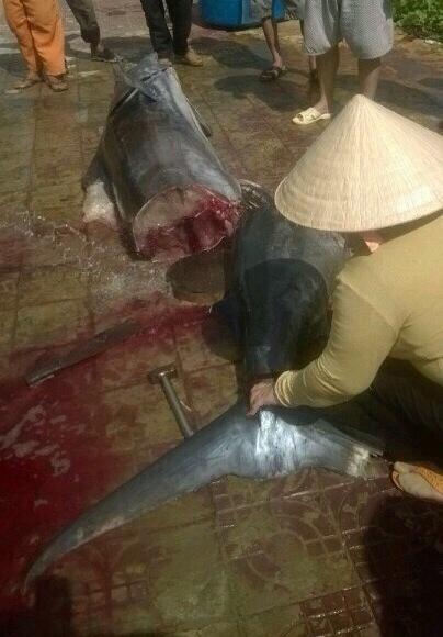 Bắt được cá thu nặng bậc nhất thế giới tại Côn Đảo