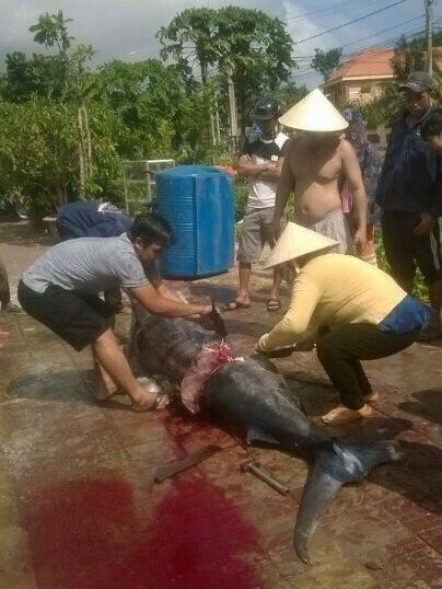 Con cá thu đang được xẻ thịt và cân kí. (Ảnh: Internet)