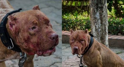 Hình ảnh đáng thương của chú chó sau khi tham gia cuộc chọi chó. Ảnh: Internet